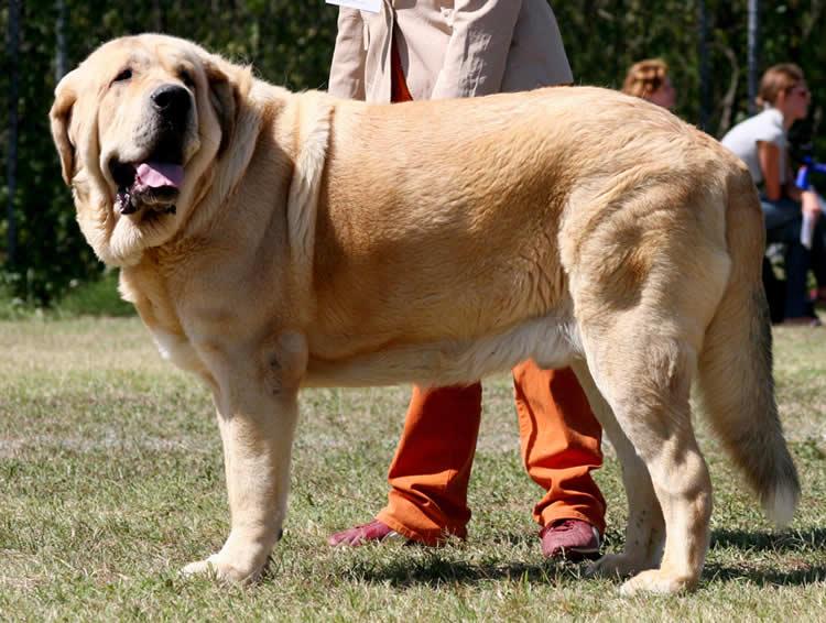 Italiano Spagnolo Dog